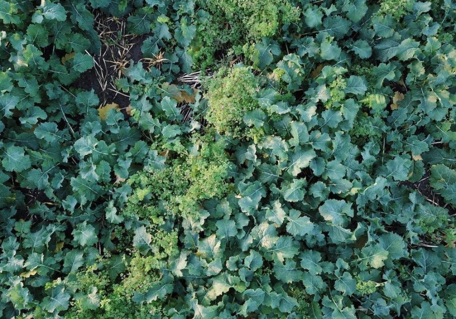 OSR Crop drone photo